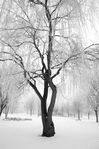 Orillia - Misty Winter Willow