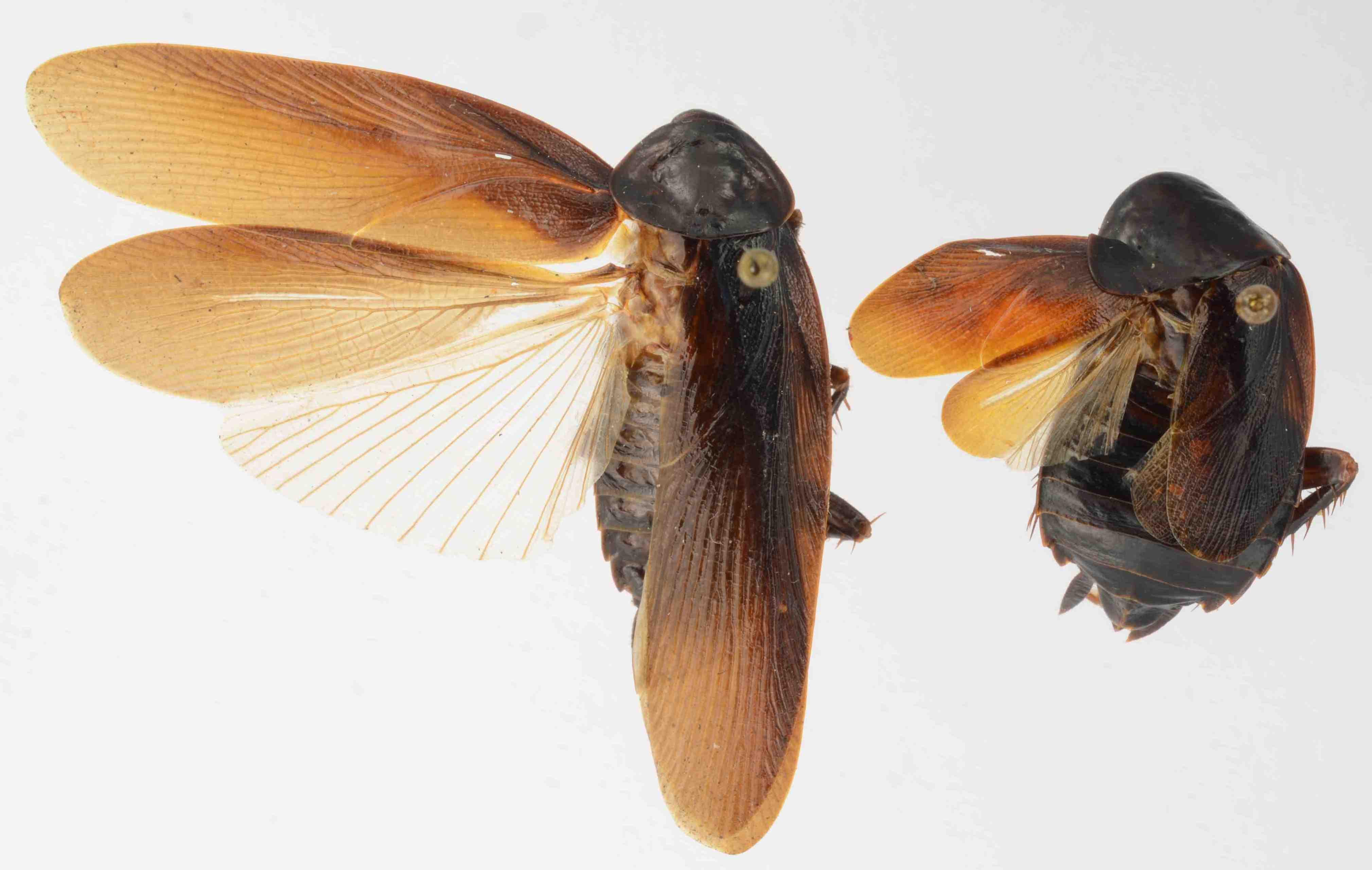 Periplaneta japonica: Η κατσαρίδα που επιβιώνει στο δριμύ ψύχος