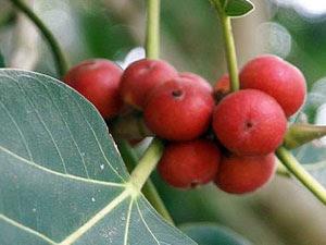 Banyan Fruit