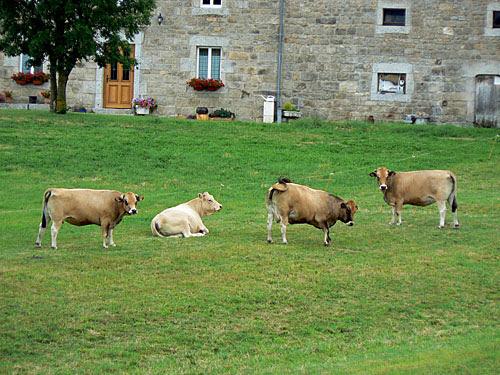 vaches devant la maison.jpg