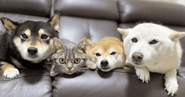 Is Kiki A Cat Or Shiba Inu? You Be The Judge.