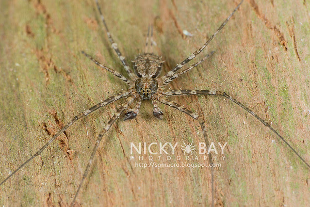 Two-Tailed Spider (Hersiliidae) - DSC_0809