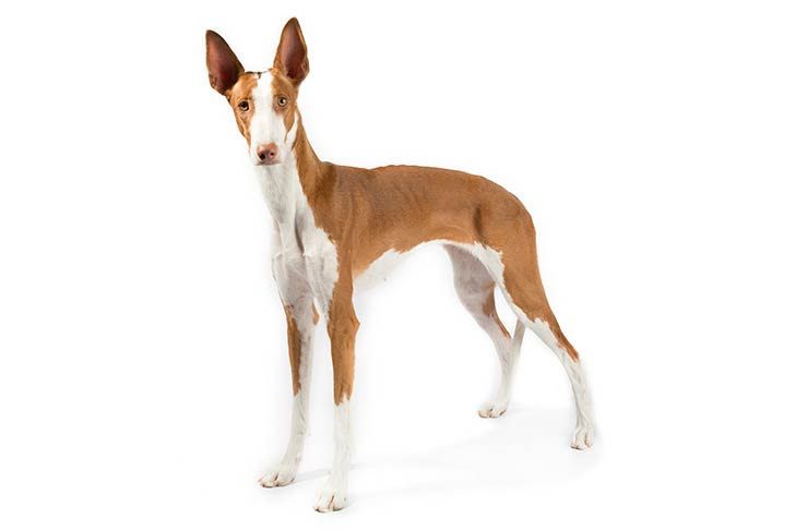 Ibizan Hound Dog Breed Information