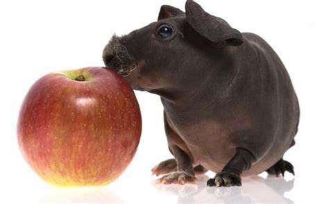 Skinny Pig (Hairless Guinea Pig): Care and Characteristics