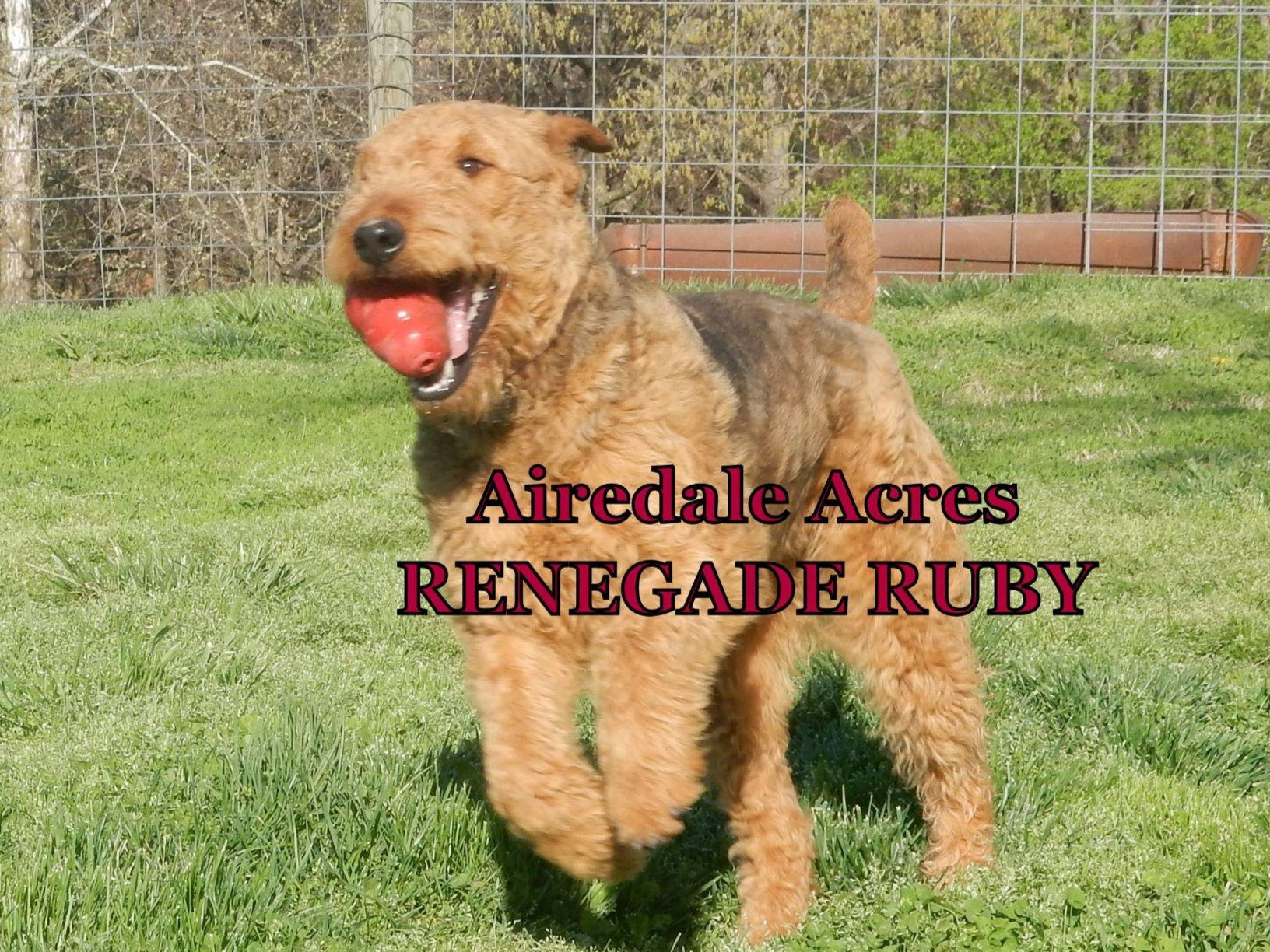 Airedale Terrier Puppies For Sale  AKC Marketplace
