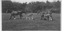 Shire horses - Briars Hall, Lathom