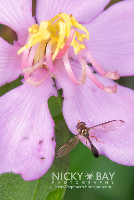Hoverfly? (Syrphidae) - DSC_8340
