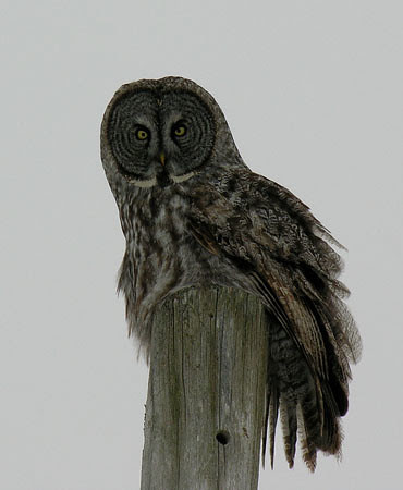 We had a visit this afternoon from a Great Grey Owl