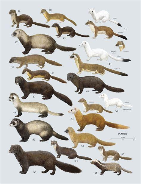 Mustelidae; Badgers; Gulo; Martens; Martes; Martes zibellina; Sables; Weasels; Wolverines