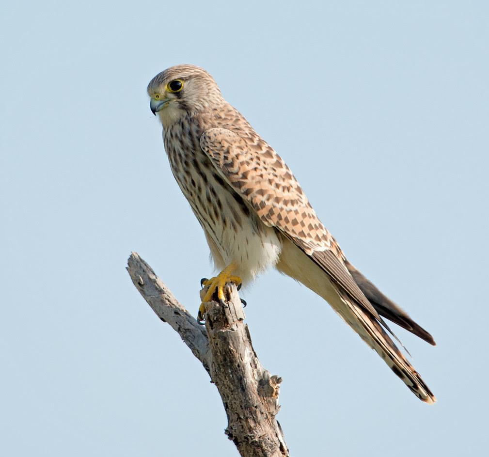 Common Kestrel Common Kestrel Falco Tinnunculus