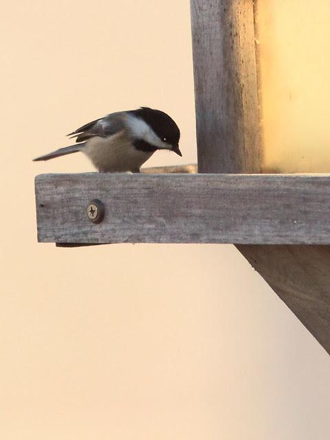 Black-capped Chickadee 20121117