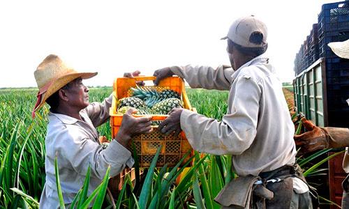 Las lluvias del huracán Irma atrasaron la siembra de piña en  Ciego de Ávila, y sus trabajadores continúan la labranza correspondiente para ampliar la comercialización en el turismo y la exportación, a fin de obtener divisas y  fortalecer la economía nacional.