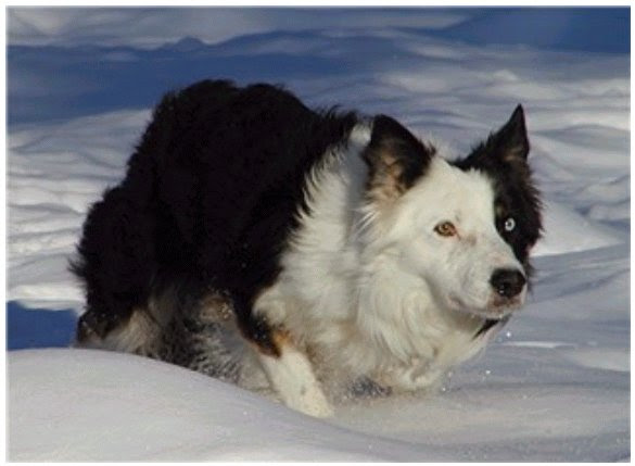Blackforest Bordersde Info Border Collie