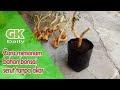Cara menanam bahan bonsai serut tanpa akar