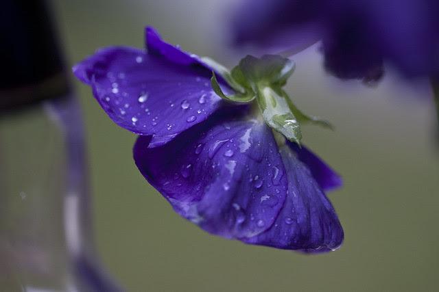purple pansey