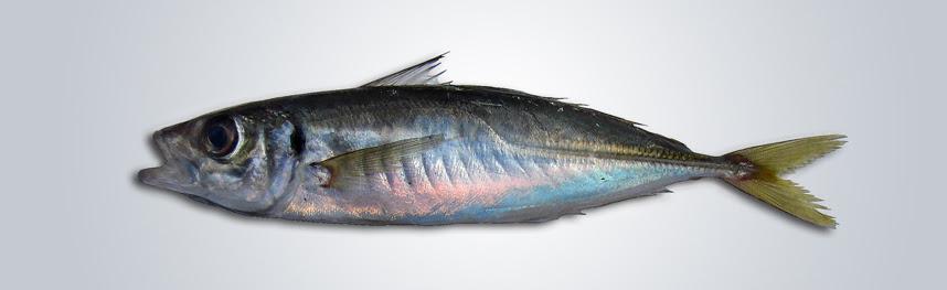 Resultado de imagen de Trachurus mediterraneus
