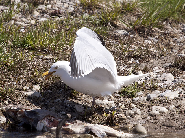 gull meal4 missing foot