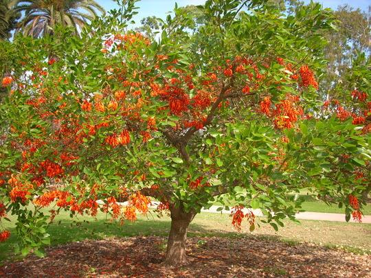 Resultado de imagem para Corticeira-da-Serra – Erythrina falcata