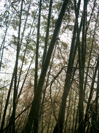 Bamboo forest of lost souls