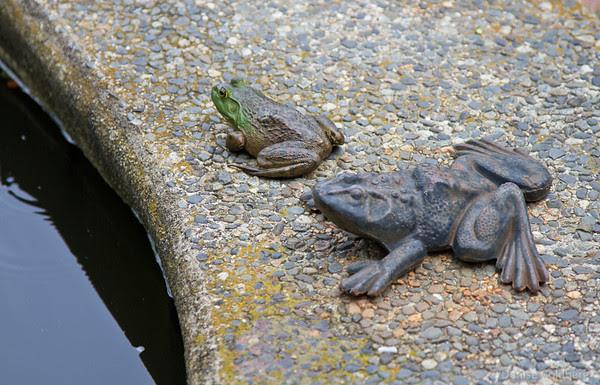 frog, Bedrock Gardens
