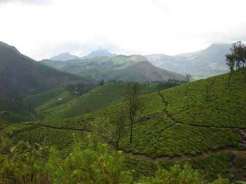 tea fields forever