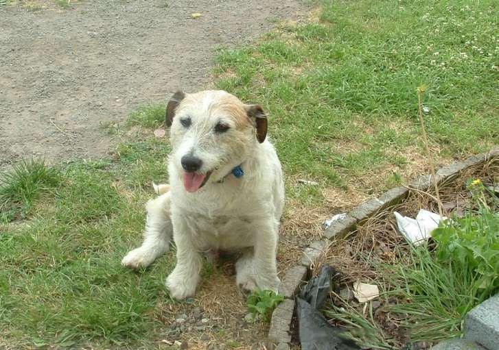 jack sussell el perro que salvo a 5 niños de dos pitbulls bravos