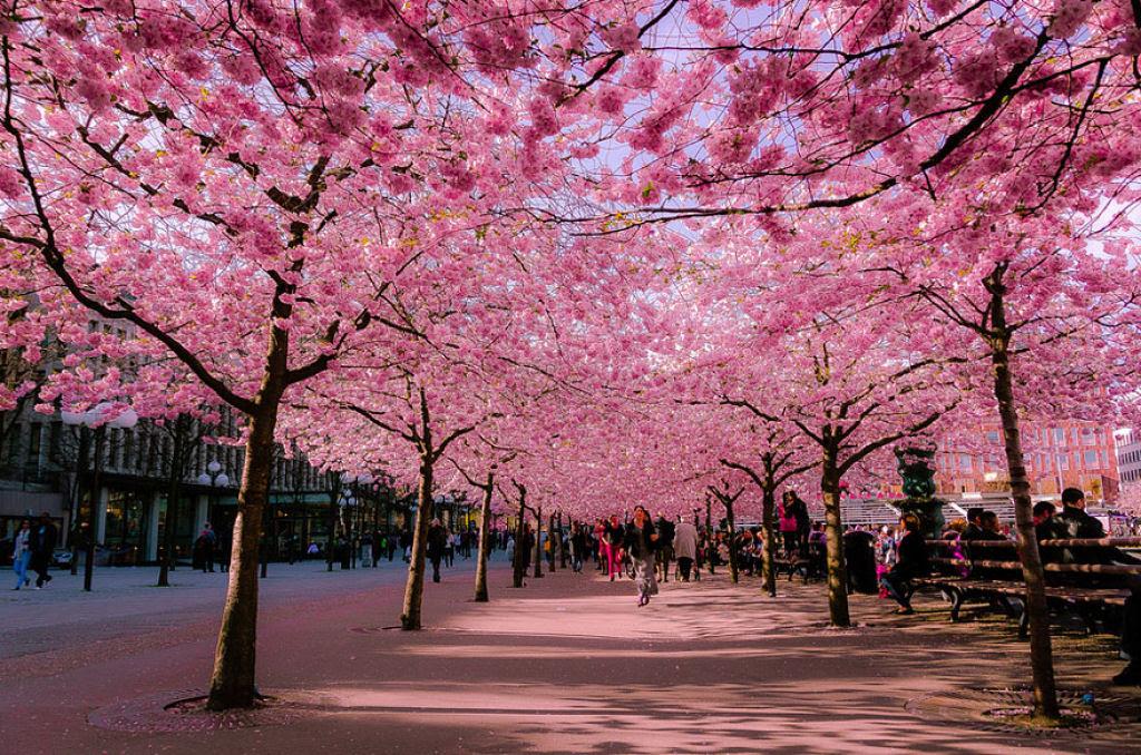 As floradas de cerejeiras mais bonitas em todo o mundo 02
