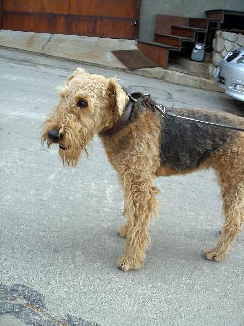 airedale terrier (Foto: Flickr/Lulu Hoeller)