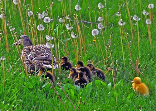 dashing through the dandelions