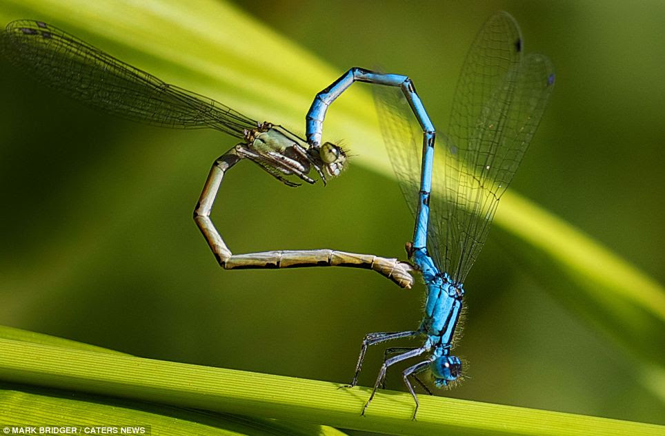 Damselflies make the shape of a heart while balancing on a blade of grass