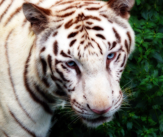 White Tiger Orton Effect