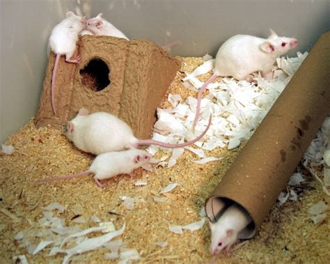 Housing and husbandry of rodents   NC3Rs