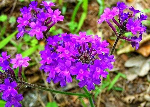 Flores de verano - Verbena