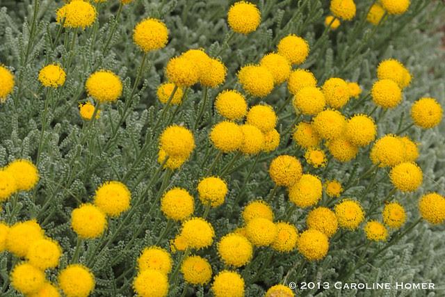 gray santolina