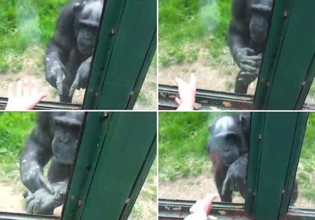 Χιμπατζής ζητά από επισκέπτες να τον ελευθερώσουν
