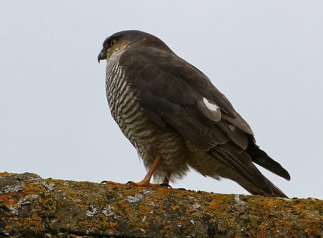25823 - Garden Sparrowhawk