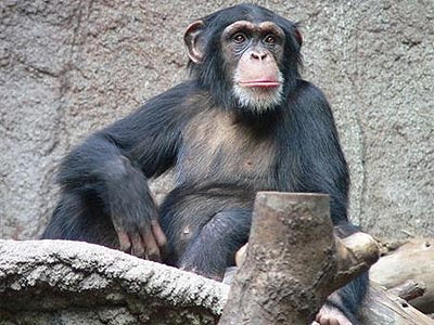 Ejemplar de chimpancé, que también posee sentido de la justicia, como los humanos. THOMAS LERSCH/WIKIMEDIA COMMONS