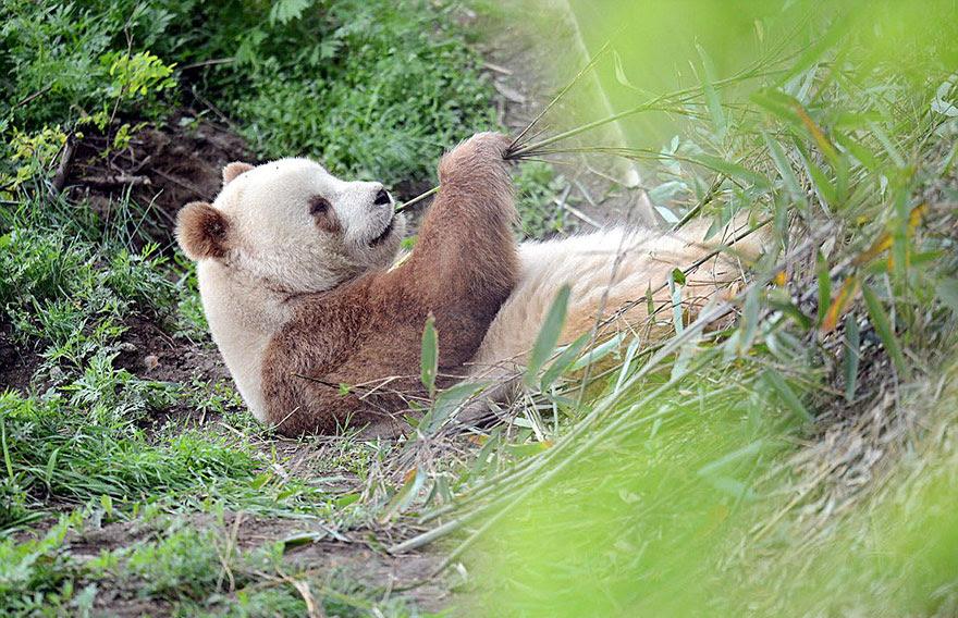 abandonou-brown-panda-qizai-9