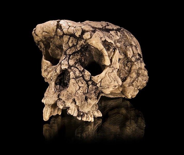 Único cráneo existente de Sahelanthropus tchadensis