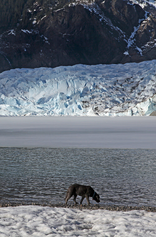 dog drinking from lake at Mendenhall Glacier, Juneau, Alaska