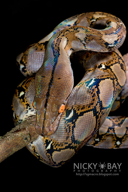 Reticulated Python (Broghammerus reticulatus) - DSC_7357