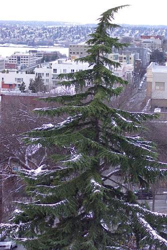 2008-12-14 Snow in Seattle Tree