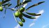 Olivier - Olivo - Olive tree