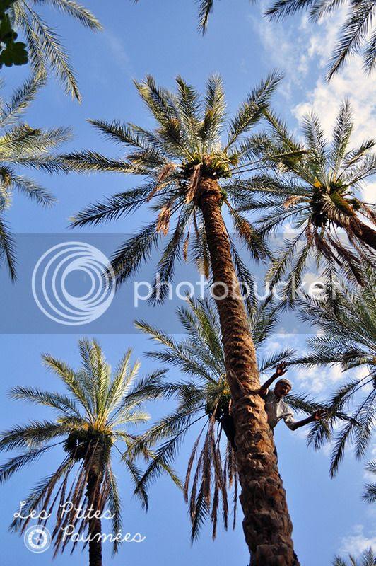 Tamerza Oasis Homme en haut d'un Palmier