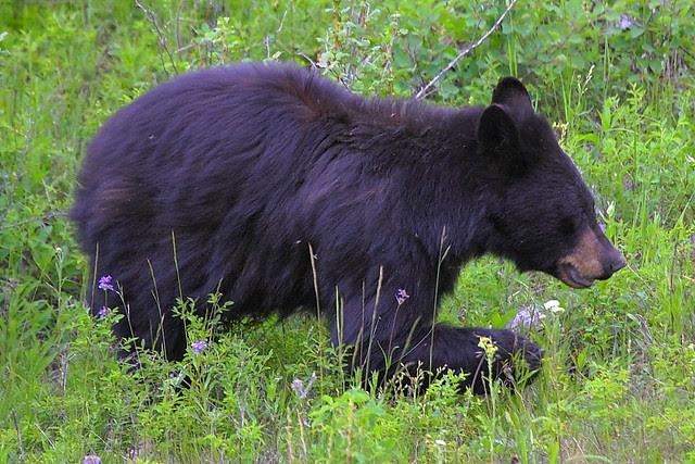 IMG_3152 Black Bear, Yellowstone National Park