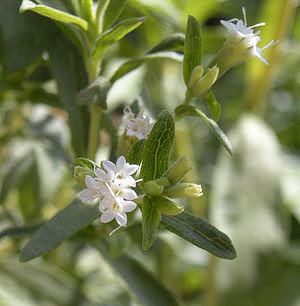 Stevia rebaudiana flowers