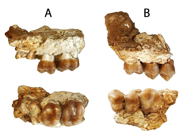 Distintas vistas de los fóssiles de Anoiapithecus brevirostris descritos en el artículo. El fragmento A corresponde al hominoideo más antigup de la península Ibérica