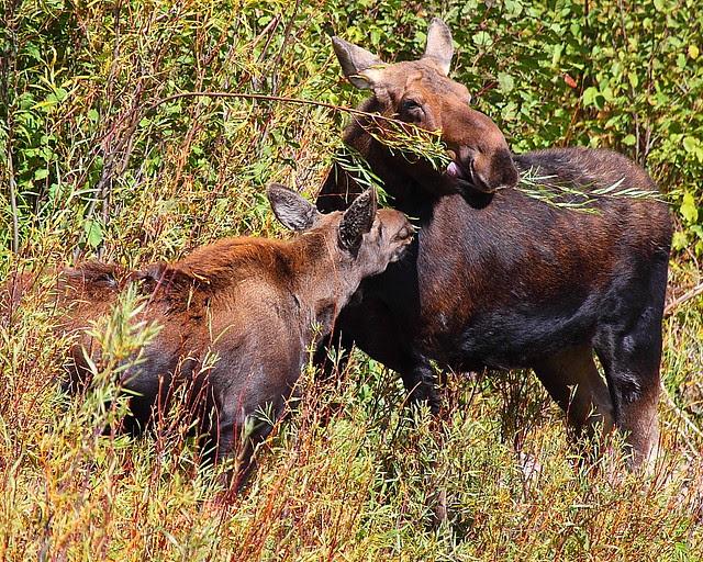 IMG_6488 Twig Eater: Moose, Grand Teton National Park