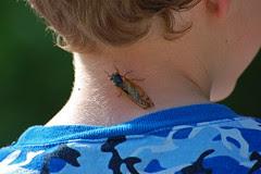 cicada_neck