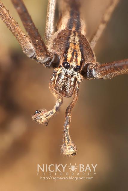 Net-Casting Spider (Deinopidae) - DSC_6117